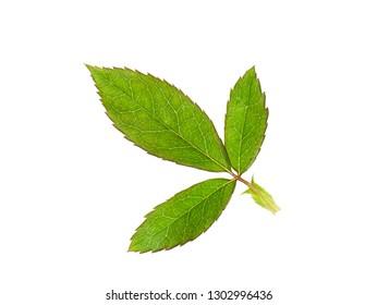 Close up leaves of damask rose plant (Scientific name Rosa damascena) on white background.