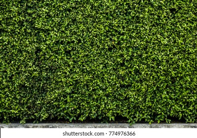 Close up leaves dark green hedge for exterior decoration, Beautiful leaves dark green wall texture and background patterns for web design and architect