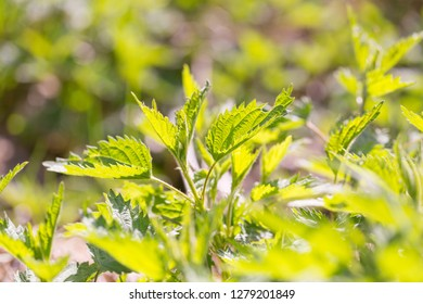 Close up of leaves of green wild nettle. Nettle growing on meadow