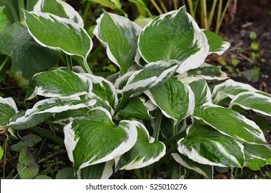 Close up of the leaves of the Hosta 'Patriot'