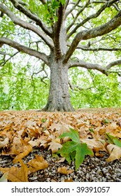 Close up of leaves of plane tree and gravel with big tree on background