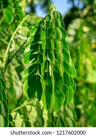 Close up leaves of Rain tree or  East indian walnut (Samanea saman) plant.
