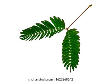 Close up leaves of sensitive plant, sleepy plant or the touch-me-not tree (Mimosa pudica) on white background.