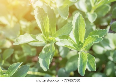 Close up of the leaves of a stevia plant.