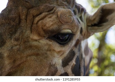 A close up of the left eye of a large adult giraffe with spring sunshine and a soft blurred background.