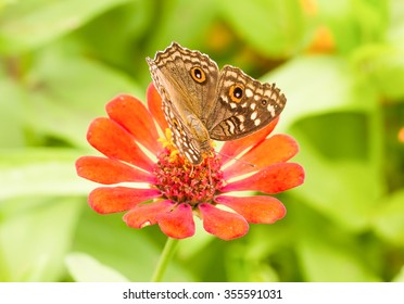Close up Lemon Pansy butterfly on a mexican sunflower