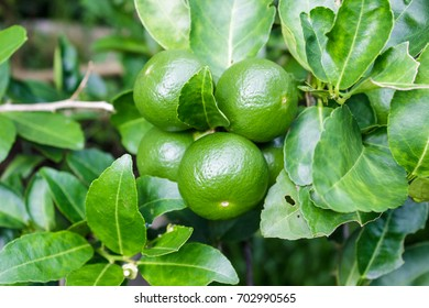 Close up lemon tree, green lime tree. Green lime tree hanging branches.