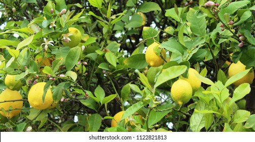 Close up lemons and flowers on tree. Hybrid classified as Citrus x limon in the Rutaceae family. Citrus trees easily cross-pollinate. Left alone, lemons grow to much larger size than seen in markets.