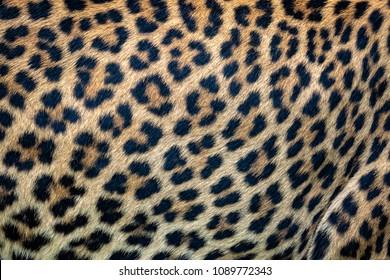 Close up leopard fur background. Ceylon leopard skin texture for background.