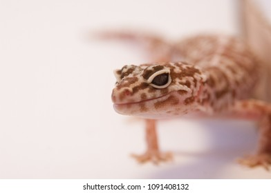 Close up Leopard gecko (Eublepharis macularius) white background curled up next to box. Leopard lizard on white shallow depth of field. Extreme close up of leopard gecko, focus on eyes and nose.
