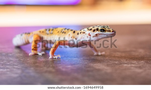 Close up of leopard gecko on a wooden table. Yellow and brown spotted gecko.