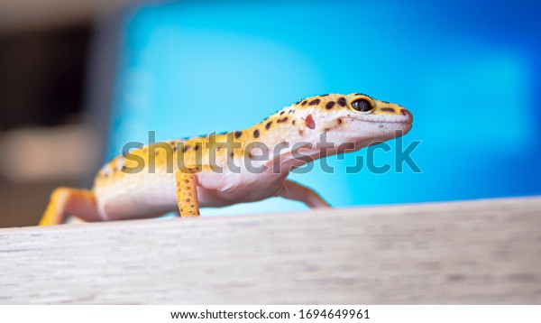 Close up of leopard gecko on a wooden table. Portrait view of yellow and brown spotted gecko.