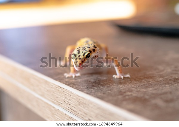 Close up of leopard gecko on a wooden table, blurry background