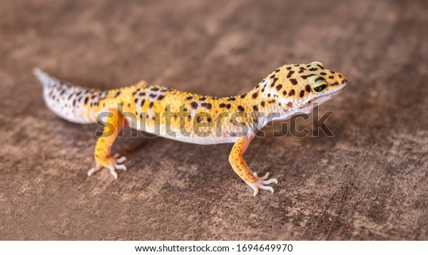 Close up of leopard gecko on a wooden table, top view. Yellow and brown spotted gecko isolated.