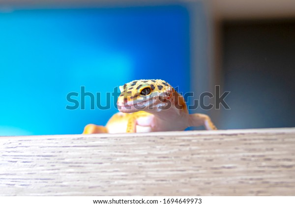 Close up of leopard gecko on a wooden table, bottom view