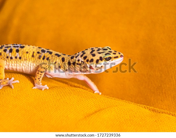Close up of leopard gecko on a yellow background, side view. Domestic animal for home during self-isolation.