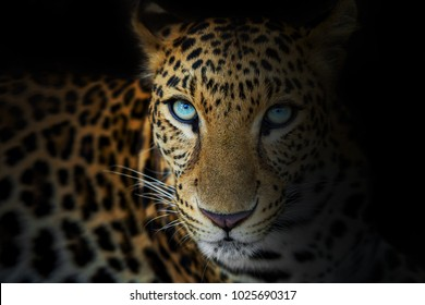 Close up of Leopard isolated on black background.