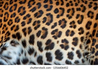 Close up leopard real fur texture