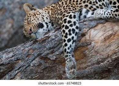 A close up of a leopard sleeping in a tree