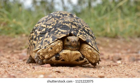 close up of leopard tortoise