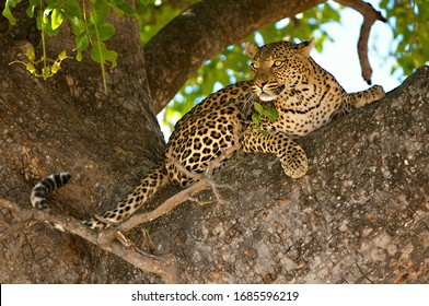 Close up of leopard in tree looking at prey in the distance