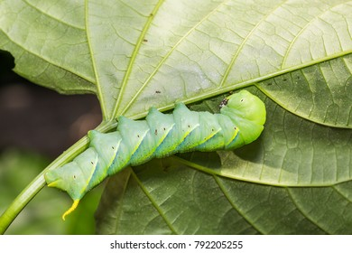 Close up of Lesser Death's Head hawkmoth (Acherontia styx) clinging on its host plant leaf