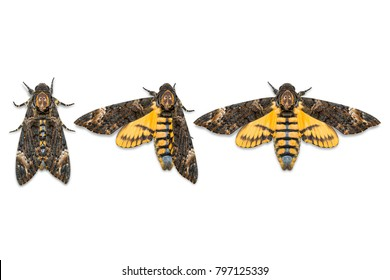 Close up of Lesser Death's Head hawkmoth (Acherontia styx), dorsal view, isolated on white background with clipping path