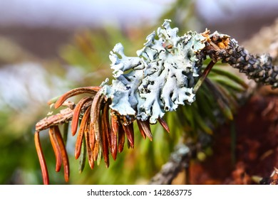 Close up of lichen on pine tree in the forest