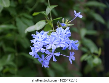 Close up of the light blue Plumbago flowers, a climbing tropical plant