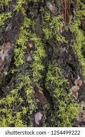 A close up of light green moss layered on the bark of a tree.