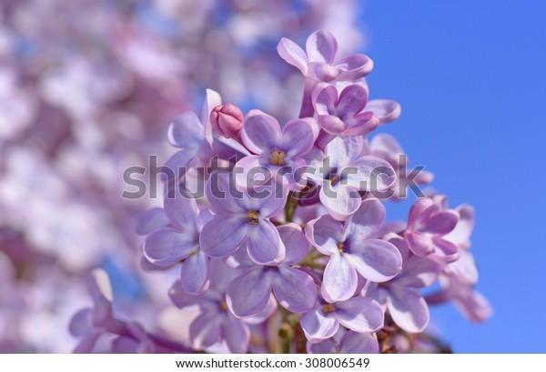 close up of lilac blossom over blue sky
