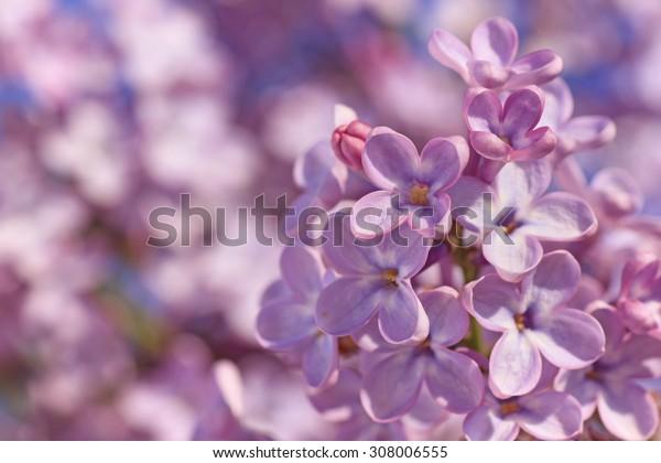 close up of lilac blossoming at spring