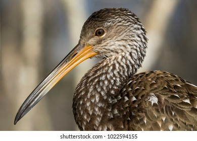 A Close Up of a Limpkin or Crying Bird in a Cypress Forest along the Hillsborough River in Lettuce Lake Park in Tampa Florida