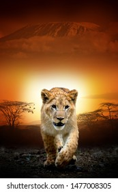 Close lion cub on savanna landscape background and Mount Kilimanjaro at sunset
