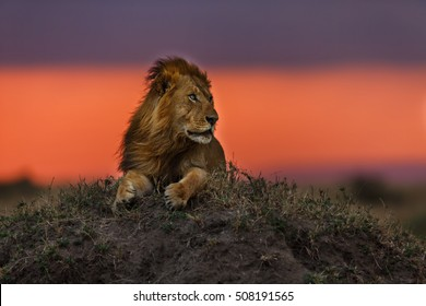 Close up of a Lion cub at sunset in Masai Mara, Kenya