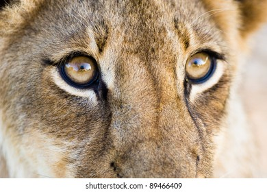 A close up of a lion cub's eyes