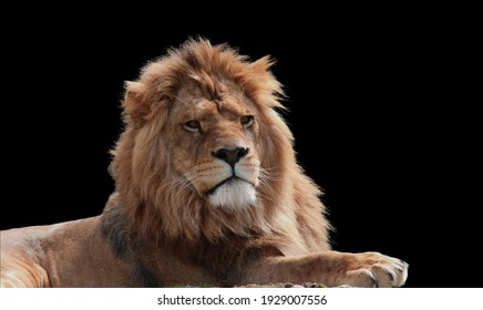 Close Up Of Lion king isolated on black.