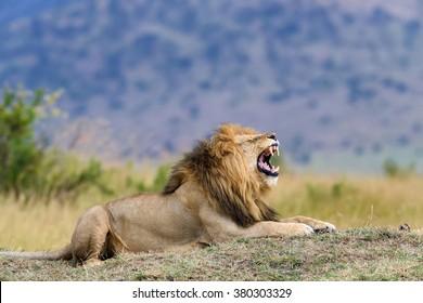 Close lion in National park of Kenya, Africa
