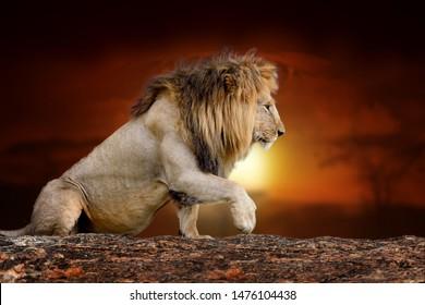Close Lion on savanna landscape background and Mount Kilimanjaro at sunset