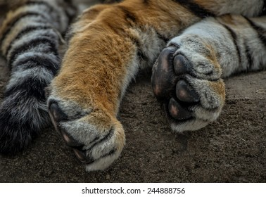 Close up of Lion Paws and tail
