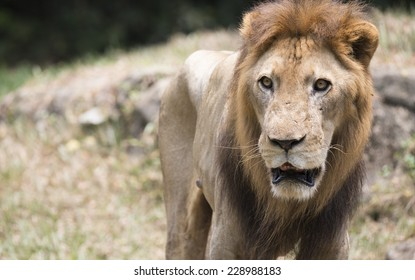 close up of lion staring