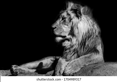 A close up of a lion staring into the distance. The picture was taken on a trip to Nepal.