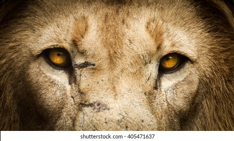 Close up of a lion starring straight forward