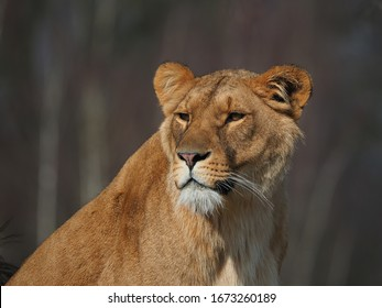 Close up of a lioness