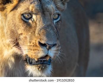 Nahaufnahme des lioness-Gesichts