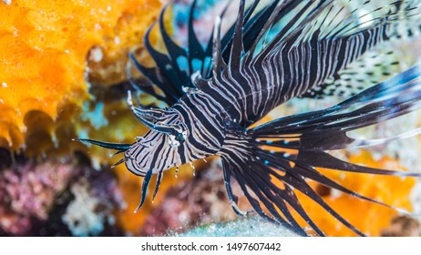 Close up of Lionfish in coral reef of the Caribbean Sea around Curacao