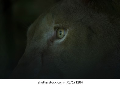 close up of the lion's eyes, abstract of animal