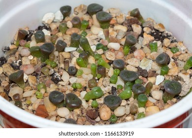 Close up of Lithops seedlings growing in pot
