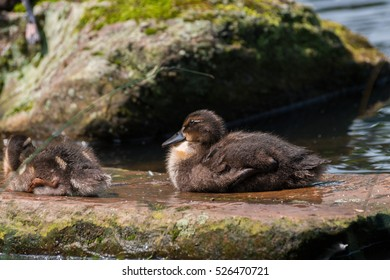 Close up of little Baby Ducks in front of a Lake