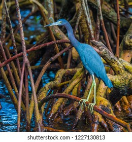 Close up of a little blue heron standing in the roots of mangroves in a Florida wetland lagoon.